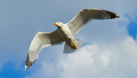 Seagull flying on blue sky and white clouds Royalty Free Stock Photos