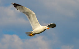 Seagull flying on blue sky and white clouds Royalty Free Stock Photography