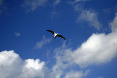 Seagull Flying on a Blue Summer Day Royalty Free Stock Images