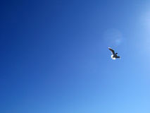 Seagull Flying on a Blue Summer Day Stock Image