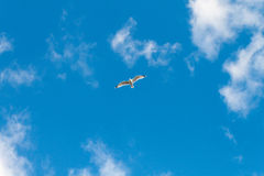 Seagull Flying on a Blue Summer Day. Seagull Flying in empty skies on a Blue Summer Day, Wales, United Kingdom royalty free stock image