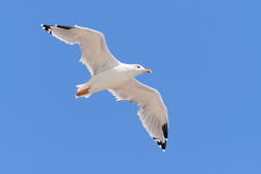 Seagull flying in a clear blue sky. Stock Photography