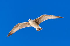 Seagull flying in a clear blue sky. Stock Photos