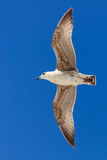 Seagull flying in a clear blue sky. Royalty Free Stock Photography