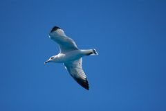 Seagull in the Blue Sky Royalty Free Stock Image