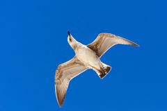 Seagull flying in a clear sky. Royalty Free Stock Image