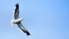 Seagull flying closeup. Seagull with open wings flying isolated over light blue sky Royalty Free Stock Photo