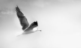 Seagull flying closeup. Seagull with open wings flying isolated over sky black and white Stock Image