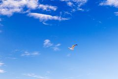 Seagull flying through the sky Royalty Free Stock Images