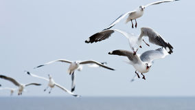 Seagull flying on cloudy sky. Seagulls flying on cloudy sky Royalty Free Stock Image