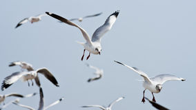 Seagull flying on cloudy sky. Seagulls flying on cloudy sky royalty free stock images