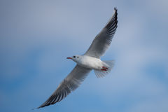 Seagull flying in cloudy sky. Seagulls with spread wings flying in cloudy sky Royalty Free Stock Images