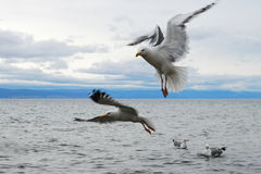 Seagull flying in the cloudy sky under the lake Baikal Stock Photos