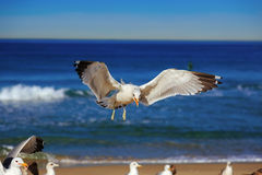 Seagull flying and crying on the hermosa beach Stock Image