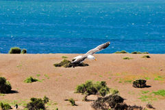 Seagull flying in detail and the blue sea in the background Royalty Free Stock Image