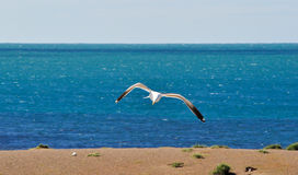 Seagull flying in detail and the blue sea in the background Royalty Free Stock Photography