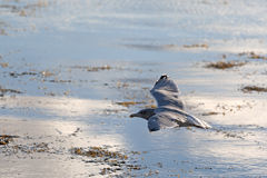 Seagull Flying Early Morning Sun Royalty Free Stock Image