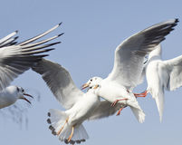 Seagull is flying Royalty Free Stock Photo