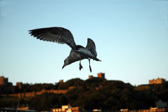 Seagull flying in evening sky. Flying seagull, in background Dover Castle Stock Photos