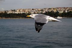Seagull Flying Freely In The Sky. Istanbul, turkey Stock Images