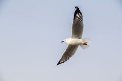 Seagull flying. Gracefully on the sky Royalty Free Stock Photography