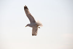 Seagull 16. Seagull flying in greece Thassos royalty free stock photography