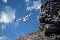A flying Seagull. stock image