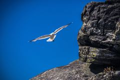 A flying Seagull against a deep blue sky. royalty free stock photography