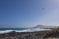 Seagull flying  with hazy Mountain backdrop on Corralejo beach F. Seagull flying in a blue sky with hazy Mountain backdrop on Corralejo beach Fuerteventura Las Royalty Free Stock Images