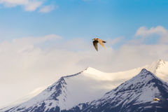 Seagull flying high above snow-capped mountain summits elevated in cloudy blue sky. Seagull in flight with wings spread, flying high above snow-capped mountain Stock Photo