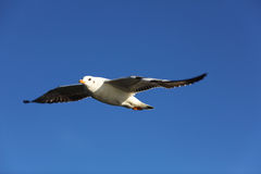 Seagull flying high up, wings open Stock Photo