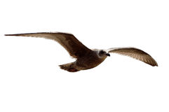 Seagull flying, isolated with clipping path Royalty Free Stock Photo