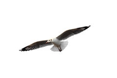 Seagull flying. stock photo