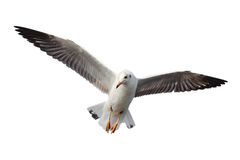Seagull flying. Stock Photos