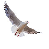 Seagull flying isolated on white Royalty Free Stock Photo