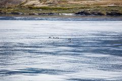 Seagull flying just above the sea in the beagle channel, Patagonia, Argentina.  Stock Photos