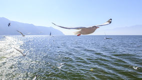 Seagull. Flying seagull on the lake Stock Photos