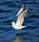 Seagull Flying and landing Stock Image