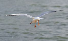 Seagull Flying and landing Royalty Free Stock Photography