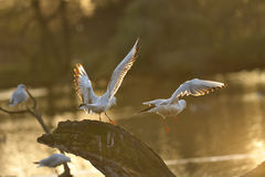 Seagull flying leave the tree they stay. Beautiful wings under sun light Stock Photos