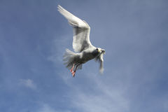 Seagull. Flying looking down for food Stock Photo