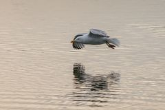 Seagull flying low over a lake with reflection in the water royalty free stock images