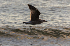 Seagull flying low over the water. At sunset Royalty Free Stock Photos