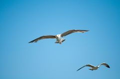 Seagull flying low Stock Photos