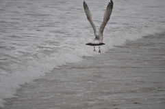 Seagull Flying Low Royalty Free Stock Photography