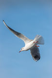 Seagull flying maneuvre. Seagull bird with spread wings flying maneuver Stock Image