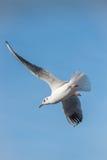 Seagull flying maneuvre Stock Image