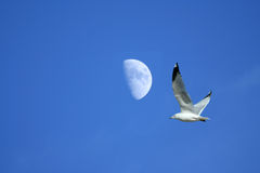 Seagull flying near the Moon Stock Photography