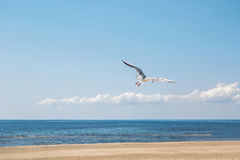 Seagull flying near the sea Stock Image