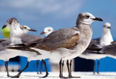 Group of Laughing gull Seagull in south Florida Miami beach royalty free stock image